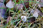 Iodine Bonnet (Mycena filopes)
